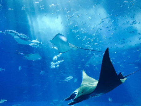 manta rays swimming in the ocean